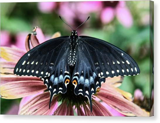 Black Swallowtail 3 Canvas Print