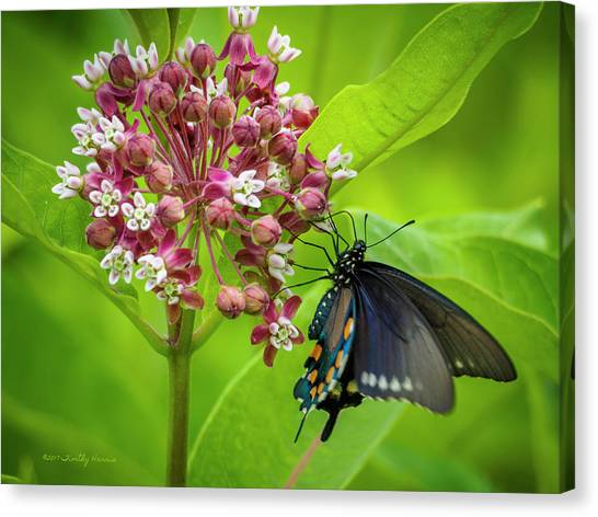 Black Swallowtail 54 Canvas Print