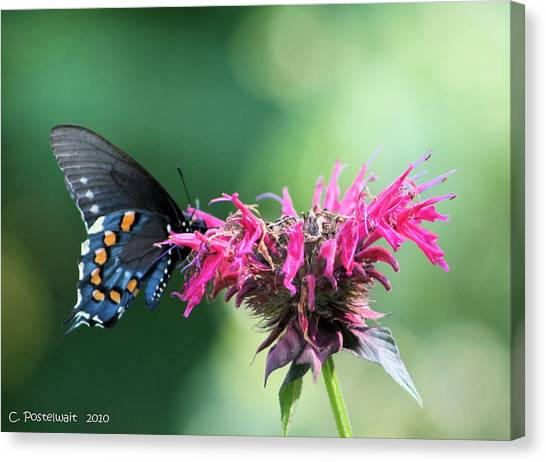 Black Swallowtail And Raspberry Fizz Monarda 2 Canvas Print