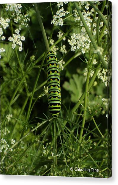 Canvas Print featuring the painting Black Swallowtail Butteryfly Caterpillar by Chholing Taha