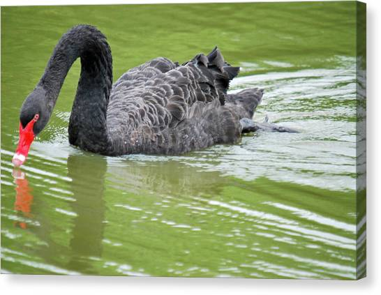 Black Swan Canvas Print by Teresa Blanton