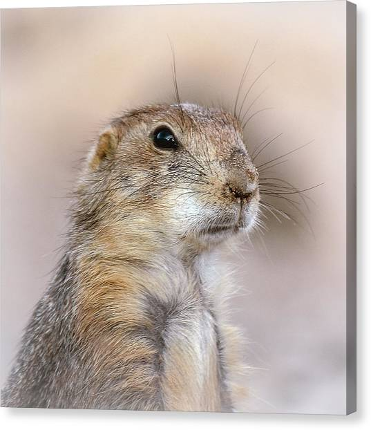 Black Tail Prairie Dog Canvas Print