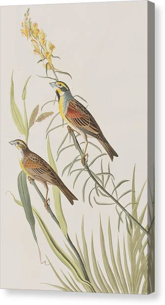 Bunting Canvas Print - Black-throated Bunting by John James Audubon