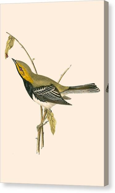 Warblers Canvas Print - Black Throated Warbler by English School