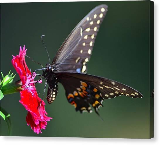 Black Tiger Swallowtail Canvas Print