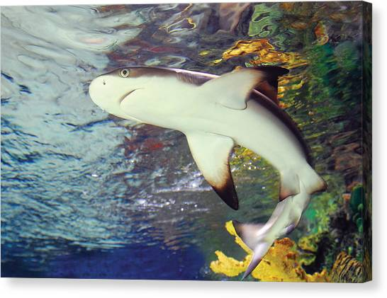 Black Tipped Reef Shark-1 Canvas Print