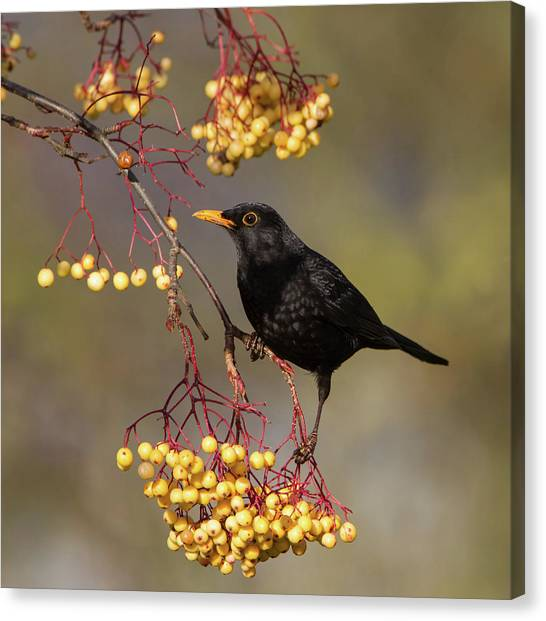 Blackbird Yellow Berries Canvas Print
