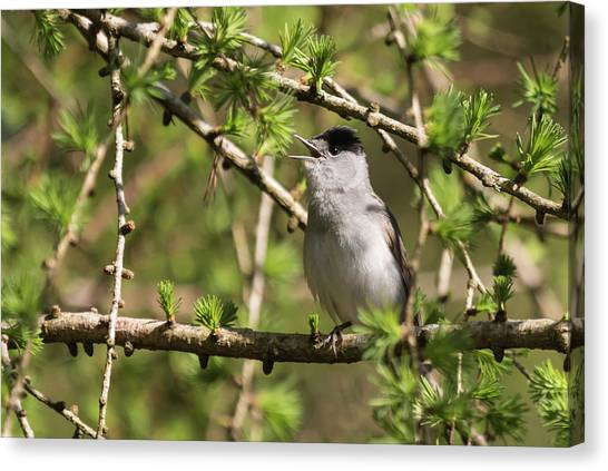 Blackcap Serenade Canvas Print