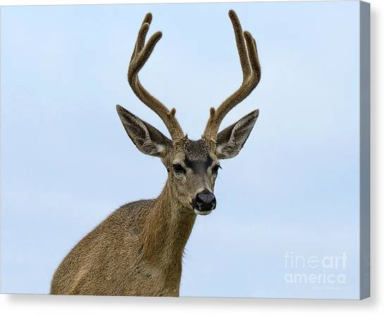 Blacktail Deer Showing Off Summer Antlers Canvas Print