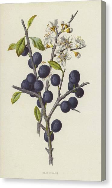 Fruit Trees Canvas Print - Blackthorn by Frederick Edward Hulme