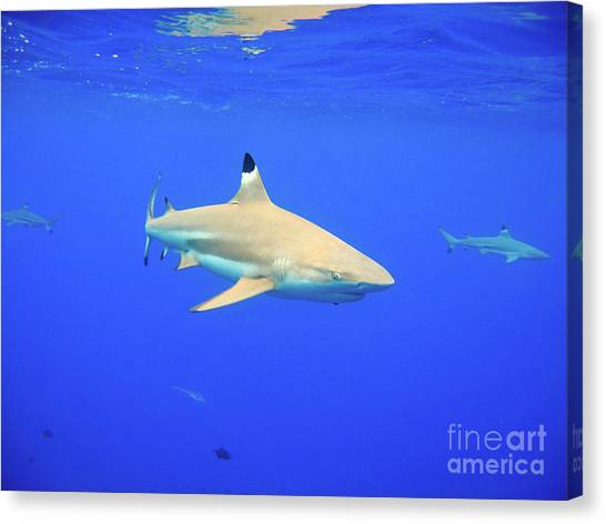 Blacktip Reef Shark Canvas Print