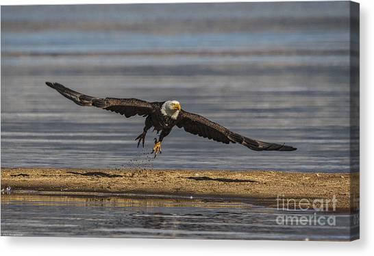 Eagle In Flight Canvas Print - Blast Off by Mitch Shindelbower