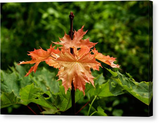 Blazing Maple Leaves Canvas Print