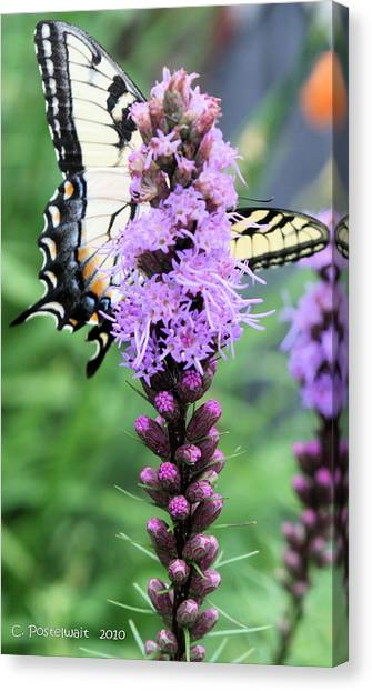 Blazing Stars And Yellow Swallowtails Canvas Print