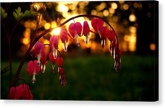 Bleeding Heart Sunset Canvas Print