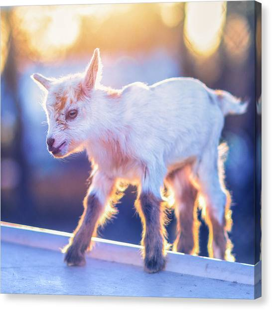 Little Baby Goat Sunset Canvas Print