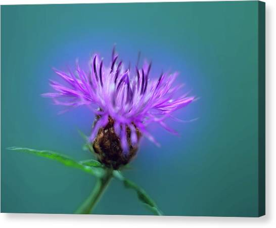 Canvas Print - Cornflower. by Daniel Furon