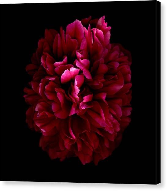 Blood Red Peony Canvas Print by Deborah J Humphries