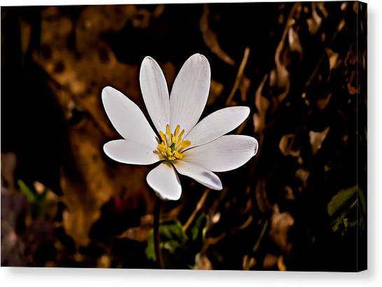 Bloodroot Bloom Canvas Print by Michael Whitaker