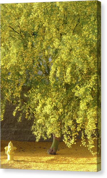 Arizona State University Asu Tempe Canvas Print - Blooming Blue Palo Verde With Hydrant by Kare Dey