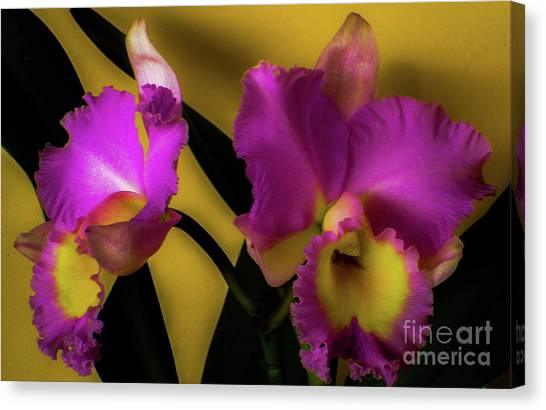 Blooming Cattleya Orchids Canvas Print