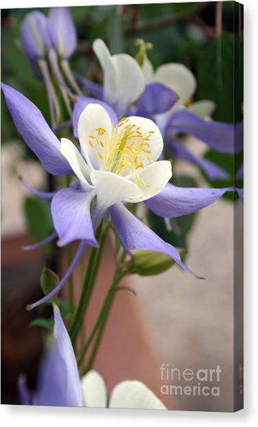 Blooming Columbine Canvas Print by Andrew Serff