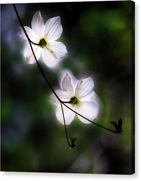 Cloud Forests Canvas Print - Blooming Dogwoods In Yosemite 2 by Larry Marshall