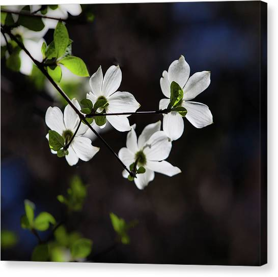 Glaciers Canvas Print - Blooming Dogwoods In Yosemite 4 by Larry Marshall