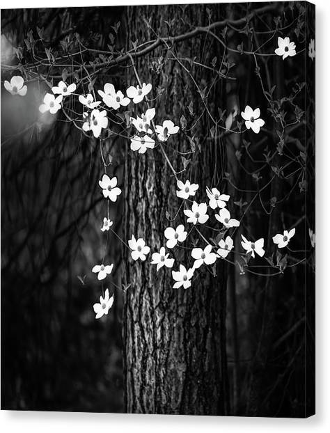 Cloud Forests Canvas Print - Blooming Dogwoods In Yosemite Black And White by Larry Marshall