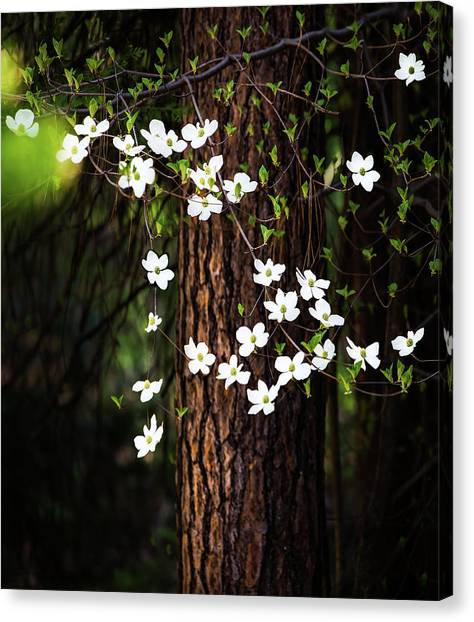 Glacier National Park Canvas Print - Blooming Dogwoods In Yosemite by Larry Marshall