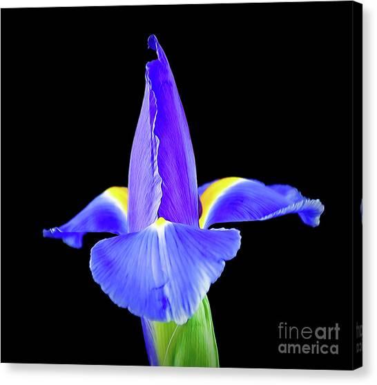 Blooming Iris 1318-1 Canvas Print