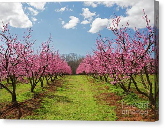 Blooming Peach Orchard 1 Canvas Print
