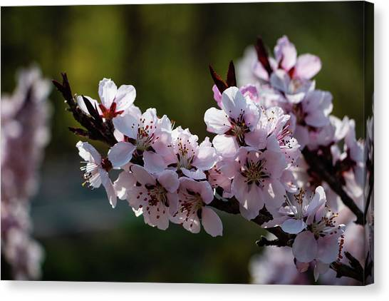 Blooming Peach Tree Canvas Print