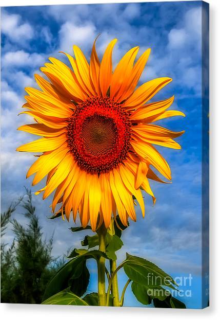 Sunflower Seeds Canvas Print - Blooming Sunflower  by Adrian Evans