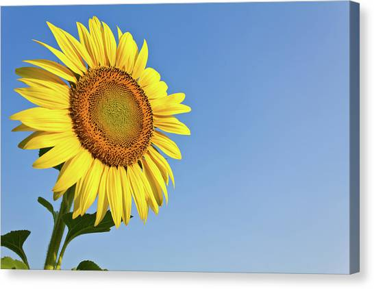 Sunflower Seeds Canvas Print - Blooming Sunflower In The Blue Sky Background by Tosporn Preede
