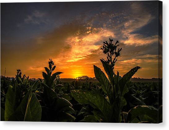 Blooming Tobacco Canvas Print