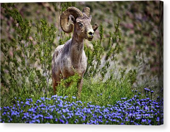 Blooms And Bighorn In Anza Borrego Desert State Park  Canvas Print