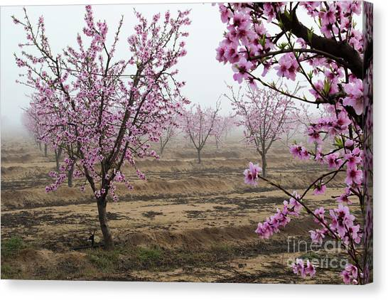Blossom Trail Canvas Print