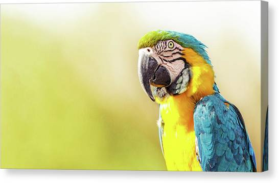 Macaws Canvas Print - Blue And Yellow Macaw With Copy Space by Susan Schmitz