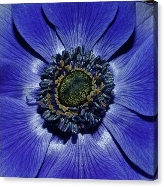 Blue Anemone Canvas Print