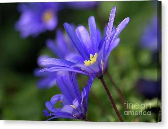 Blue Anemone  Canvas Print by Sharon Talson