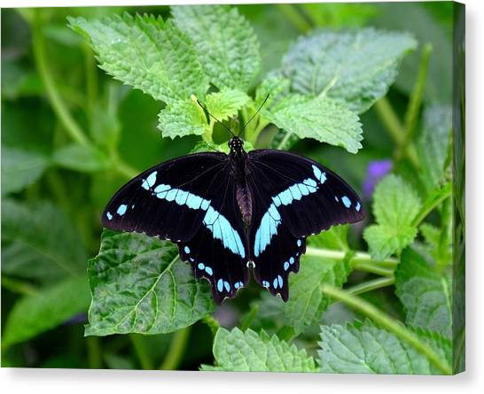 Blue Banded Swallowtail Butterfly Canvas Print