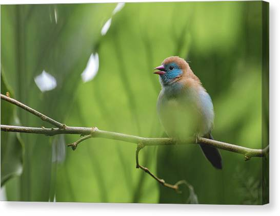 Canvas Print featuring the photograph Blue Bird Chirping by Raphael Lopez