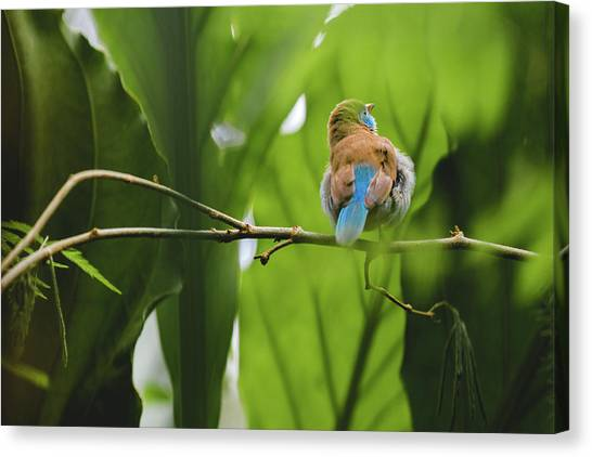 Canvas Print featuring the photograph Blue Bird Has An Itch by Raphael Lopez