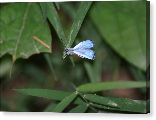 Blue Butterfly Canvas Print by Heather Green