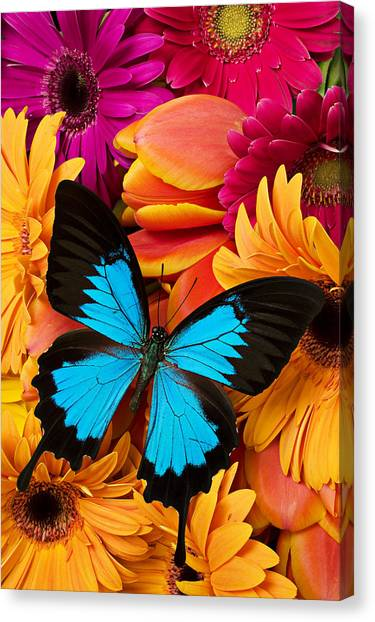 Colorful Canvas Print - Blue Butterfly On Brightly Colored Flowers by Garry Gay