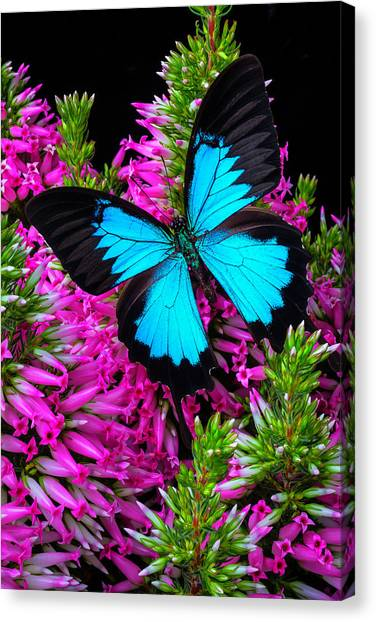 Heather Canvas Print - Blue Butterfly On Heather by Garry Gay