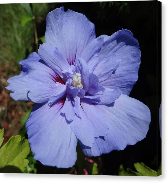 Blue Chiffon Hibiscus Flower Photograph by Sarah Malley