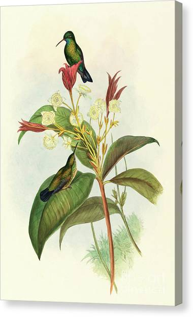 Chin Canvas Print - Blue Chinned Sapphire by John Gould