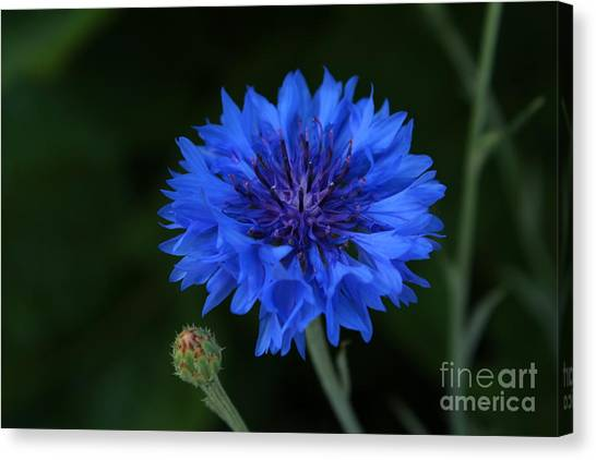 Blue Cornflower Canvas Print